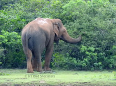 We find Asian Elephant in Yala National Park, Sri Lanka