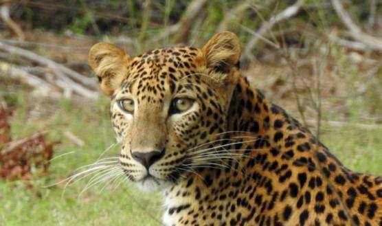 Wilpattu NP Sri Lankan Leopard