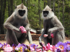 Watch Grey Langur at Anuradhapura