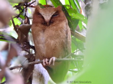 The elusive Serendib Scops Owl is very a rare bird in Sri Lankan forests