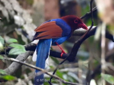 See the endemic Sri Lanka Blue Magpie in Sinharaja