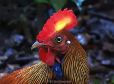 Sri Lanka's national bird, the Sri Lankan Junglefowl