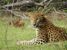 A wild Sri Lankan Leopard in Wilpattu National Park