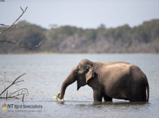 Sri Lankan (Asian) Elephant