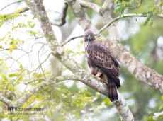 Changeable Hawk Eagle photographed in Yala National Park