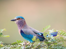 Photographing Indian Roller in Yala National Park