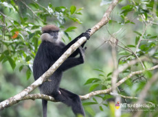 Purple-faced Leaf Monkey on watch