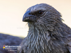 Apostlebird photographed by Luke Paterson in the Northern Territory
