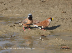 Black-throated & Masked Finches drink at waterholes in outback Queensland