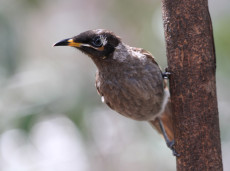 Bridled Honeyeater, an endemic species to Queensland Wet Tropics
