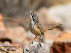 Carpentarian Grasswren near Mount Isa