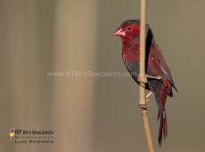 Striking Male Crimson Finch