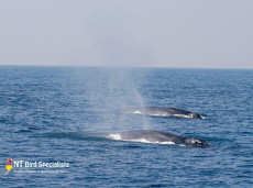 Blue Whales seen whilst cruising off the coast of Sri Lanka