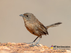 Dusky Grasswren (Amytornis purnelli) photographed in Alice Springs