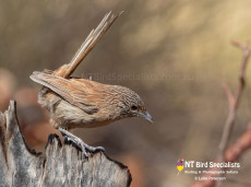 The Dusky Grasswren is 1 of 3 Grasswrens on our birdwatching tour