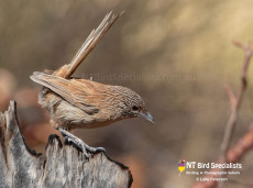 Dusky Grasswren (Amytornis purnelli) photograph by Luke Paterson