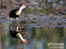 Reflections of Comb-crested Jacana