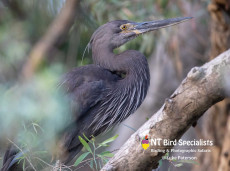 Elusive Great-billed Heron are a target bird on our photography cruises