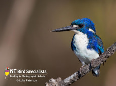 Little Kingfishers captured at Yellow Waters by Luke Paterson