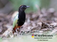 Rainbow Pitta (Pitta iris) photographed in Kakadu