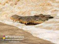 'Kinga' Saltwater Crocodile feeding at high tide at Cahills Crossing
