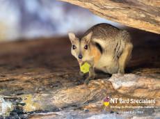 Wilkins Rock Wallaby in Kakadu National Park