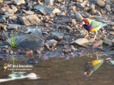Male Red-faced Gouldian Finch photographed by a waterhole, Northern Territory