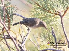 The elusive Grey Honeyeater, a birders delight!