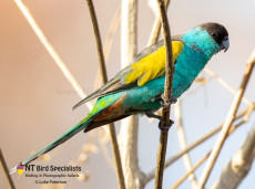 Watching endemic Hooded Parrots in the Northern Territory