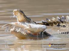 Saltwater Crocodiles eating Mullet