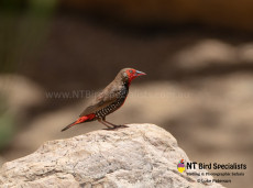 Painted Finch perched on a rock
