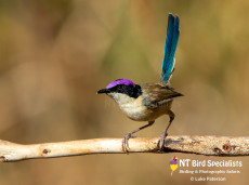 Male Purple-crowned Fairywren in the afternoon light
