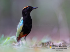 Rainbow Pitta found in Darwin Northern Territory
