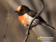 Red-capped Robin, West MacDonnell Ranges Alice Springs