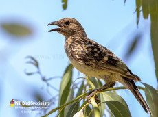 Spotted Bowerbird in outback Queensland